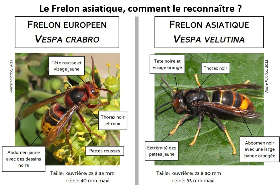 frelon2